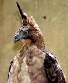 1. Javan Hawk-eagle_1