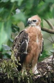 1. Javan Hawk-eagle_2
