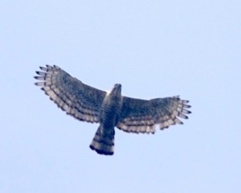 1. Javan Hawk-eagle_3