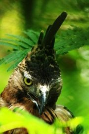 1. Javan Hawk-eagle_4