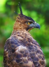 1. Javan Hawk-eagle_5
