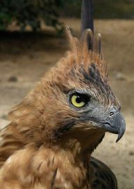 1. Javan Hawk-eagle_6