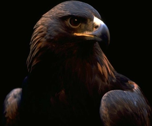 103+ Foto Gambar Burung Elang Hitam HD Terbaru Free