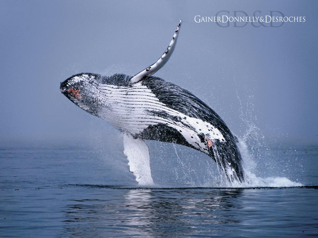 28. Humpback Whales