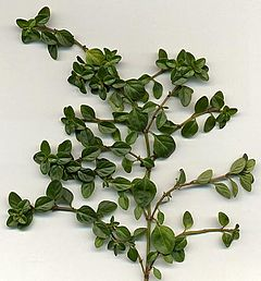 What Does Thyme Look Like